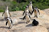 African Penguin colony at Boulders Beach, Simons Town on False Bay, South Africa Art Print