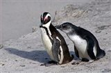 Two African Penguins Art Print