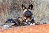 South Africa, Madikwe Game Reserve, African Wild Dog Art Print