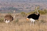 South Africa, Kwandwe. Southern Ostriches in Kwandwe Game Reserve. Art Print