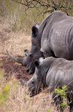 White Rhino in Zulu Nyala Game Reserve, Kwazulu Natal, South Africa Art Print
