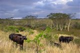 Cape Buffalo, Zulu Nyala Game Reserve, Hluhluwe, Kwazulu Natal, South Africa Art Print