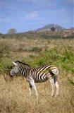 South Africa, Zulu Nyala Game Reserve, Zebra Art Print