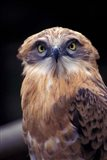 South Africa. Spotted Eagle Owl (Bubo africanus) Art Print