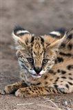 Serval Cat, Kapama Game Reserve, South Africa Art Print