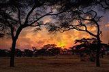 Acacia forest, sunset, Tarangire National Park, Tanzania Art Print