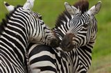 Plains zebras, Ngorongoro Conservation Area, Tanzania Art Print