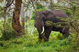 African elephant, Ngorongoro Conservation Area, Tanzania Art Print
