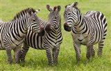 Three Plains zebras, Tanzania Art Print
