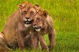 African lions, Ngorongoro Conservation Area, Tanzania Art Print