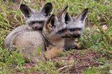 Bat-eared foxes, Serengeti National Park, Tanzania Art Print