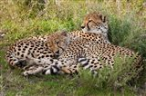 Cheetahs, Serengeti National Park, Tanzania Art Print