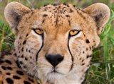 Cheetah, Serengeti National Park, Tanzania Art Print