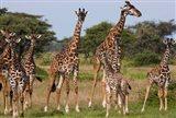 Maasai giraffe, Serengeti NP, Tanzania. Art Print