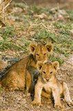 Africa, Tanzania, Katavi, lion cubs playing Art Print