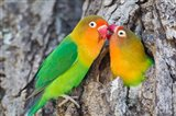 Two Fischer's Lovebirds Nuzzle Each Other, Tanzania Art Print