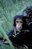 Infant Chimpanzee, Tanzania Art Print