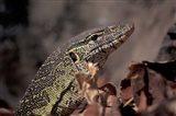 Nile Monitor Lizard, Gombe National Park, Tanzania Art Print