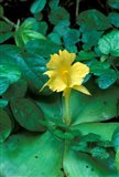 Yellow Flower in Bloom, Gombe National Park, Tanzania Art Print