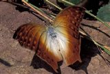 Detail of Butterfly Wings, Gombe National Park, Tanzania Art Print