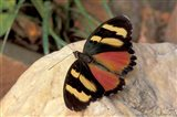 Orange/Yellow Butterfly, Gombe National Park, Tanzania Art Print