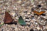 Three Butterflies, Gombe National Park, Tanzania Art Print