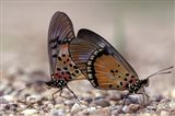 A pair of Butterflies, Gombe National Park, Tanzania Art Print