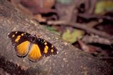 Resting Butterfly, Gombe National Park, Tanzania Art Print