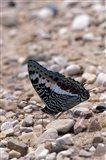 Zebra Butterfly, Gombe National Park, Tanzania Art Print