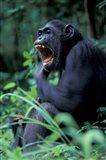 Female Chimpanzee Yawning, Gombe National Park, Tanzania Art Print