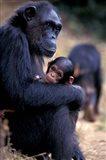 Female Chimpanzee Cradles Newborn Chimp, Gombe National Park, Tanzania Art Print
