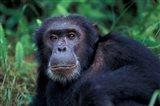 Male Chimpanzee Relaxing, Gombe National Park, Tanzania Art Print