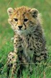 Cheetah, Tanzania, Serengeti NP, Cheetah cub Art Print