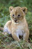 Tanzania, Serengeti National Park, African lion Art Print