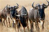 Tanzania, Ngorongoro Crater, Wildebeest wildlife Art Print