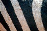 Tanzania, Ngorongoro Crater. Zebra stripes Art Print