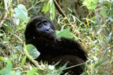 Mountain Gorilla, Bwindi Impenetrable Forest National Park, Uganda Art Print