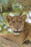 Uganda, Ishasha, Queen Elizabeth National Park Lioness in tTree Art Print