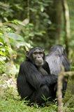 Uganda, Kibale National Park, Young Male Chimpanzee Art Print