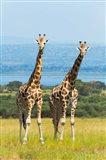 Giraffes on the Savanna, Murchison Falls National park, Uganda Art Print