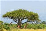 Giraffes Under an Acacia Tree on the Savanna, Uganda Art Print