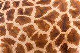 Reticulated giraffe, Luangwa Valley, Zambia Art Print