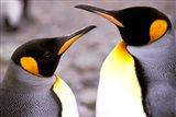 Two Penguins, Sub-Antarctic, South Georgia Island Art Print