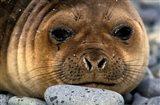 Weddell Seal, South Georgia Island, Sub-Antarctica Art Print