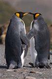 King penguins, mating ritual Art Print