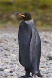 Melanistic king penguin, King Penguins Art Print