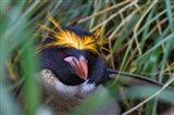 Macaroni Penguin in the grass, Cooper Baby, South Georgia, Antarctica Art Print