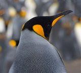 King Penguin, Salisbury Plain, South Georgia, Antarctica Art Print