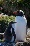 Gentoo Penguin, Prion Island, South Georgia, Antarctica Art Print