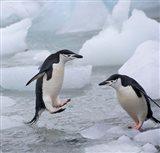 Chinstrap Penguins on ice, Antarctica Art Print